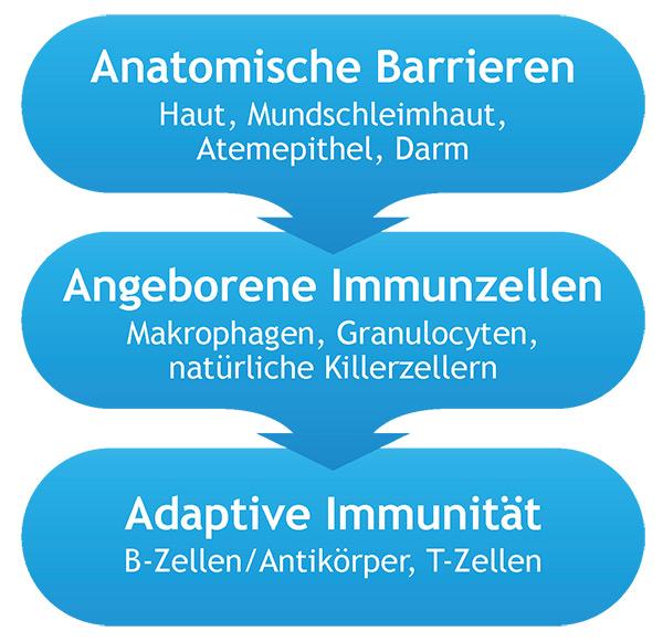 Aktivierung des T-Lymphozyten